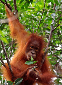 Indonesia Travel - The BORNEO Orangutan Tour Package
