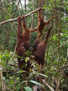 Indonesia Travel - Orangutan Tour Package